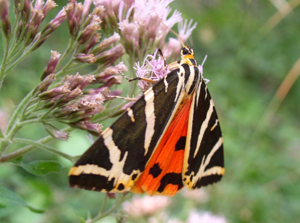 Le farfalle diurne del parco regionale di montevecchia e - Colorazione dei bruchi ...