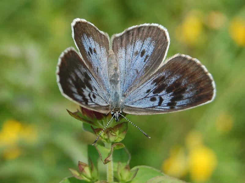 Le farfalle diurne del parco regionale di montevecchia e for Divora larve di zanzara